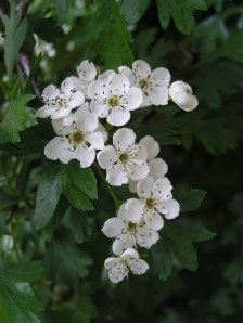 Common_hawthorn_flowers